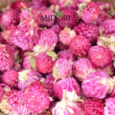 wiecznik kulisty ziołowa herbata zdrowa herbata